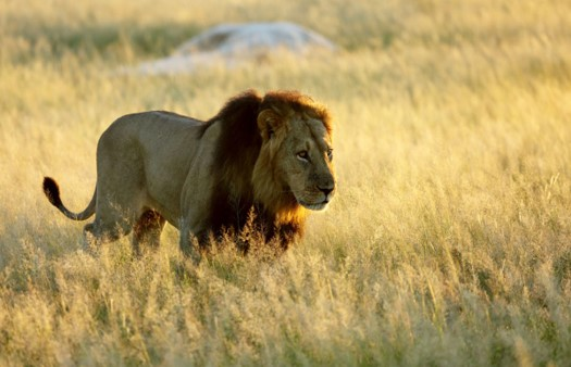 Hwange National Park lion