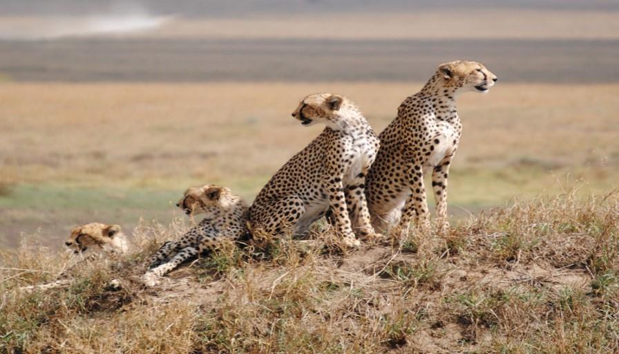 Serengeti National Park Leapards Family