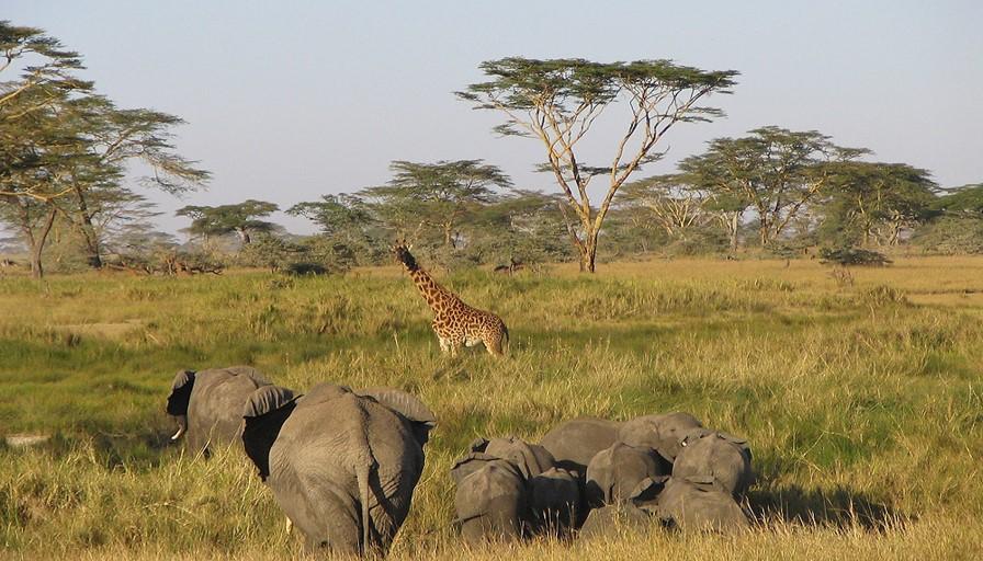 Serengeti National Park elephant