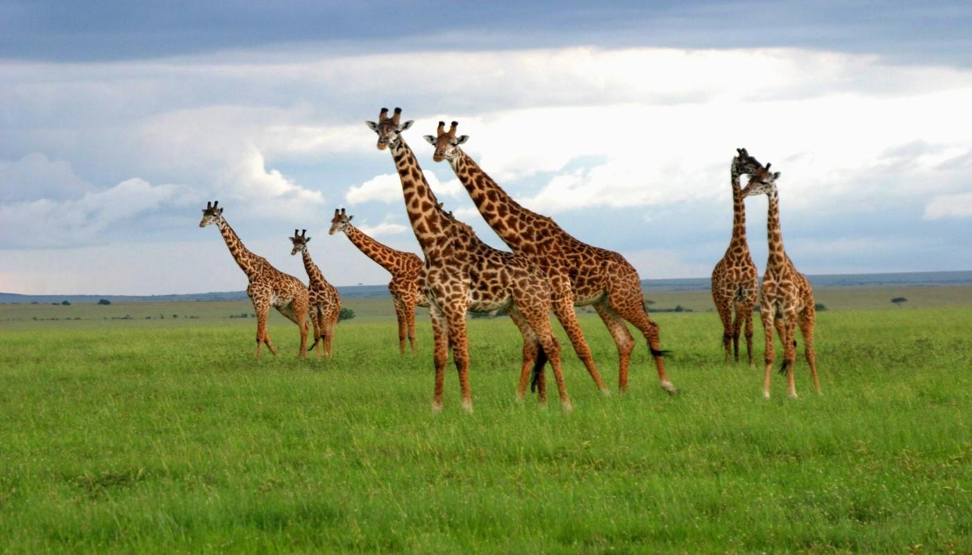 Serengeti National Park giraffes