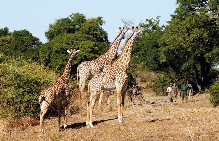 south luangwa national park Giraffe