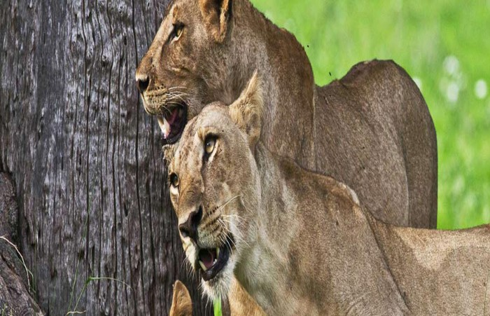 south luangwa national park lions