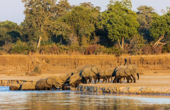 south luangwa national park river and Elephants